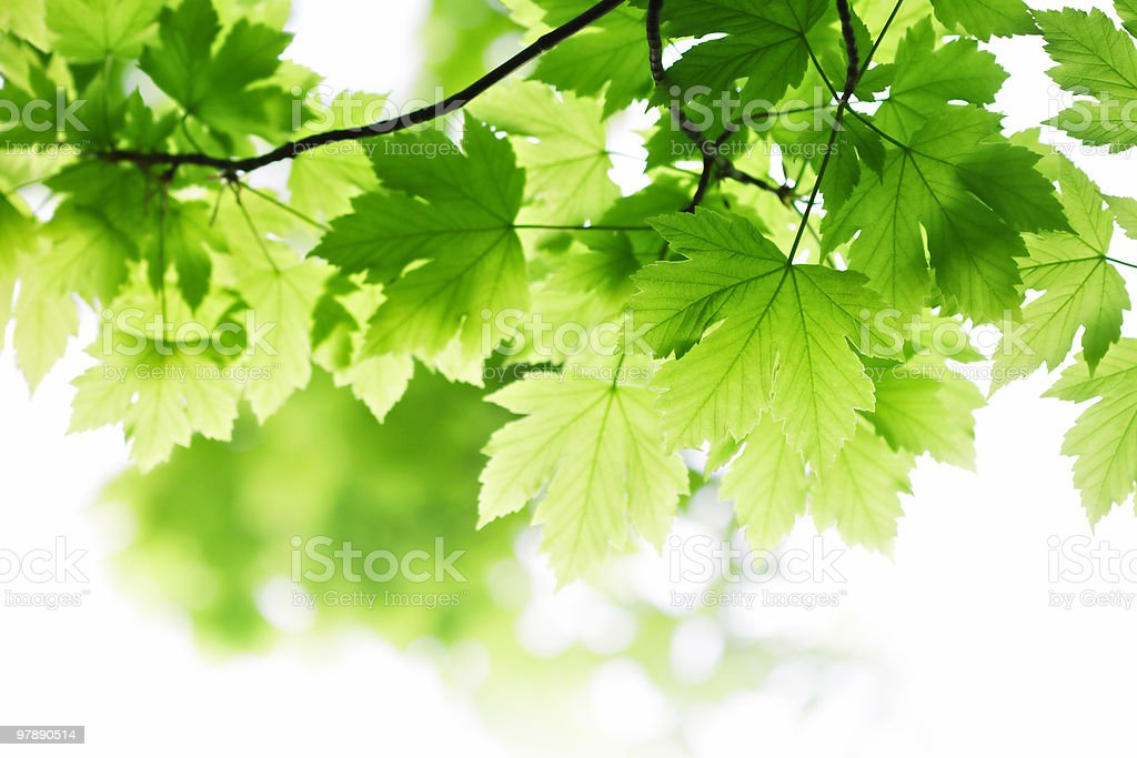 green summer leaves stock photo