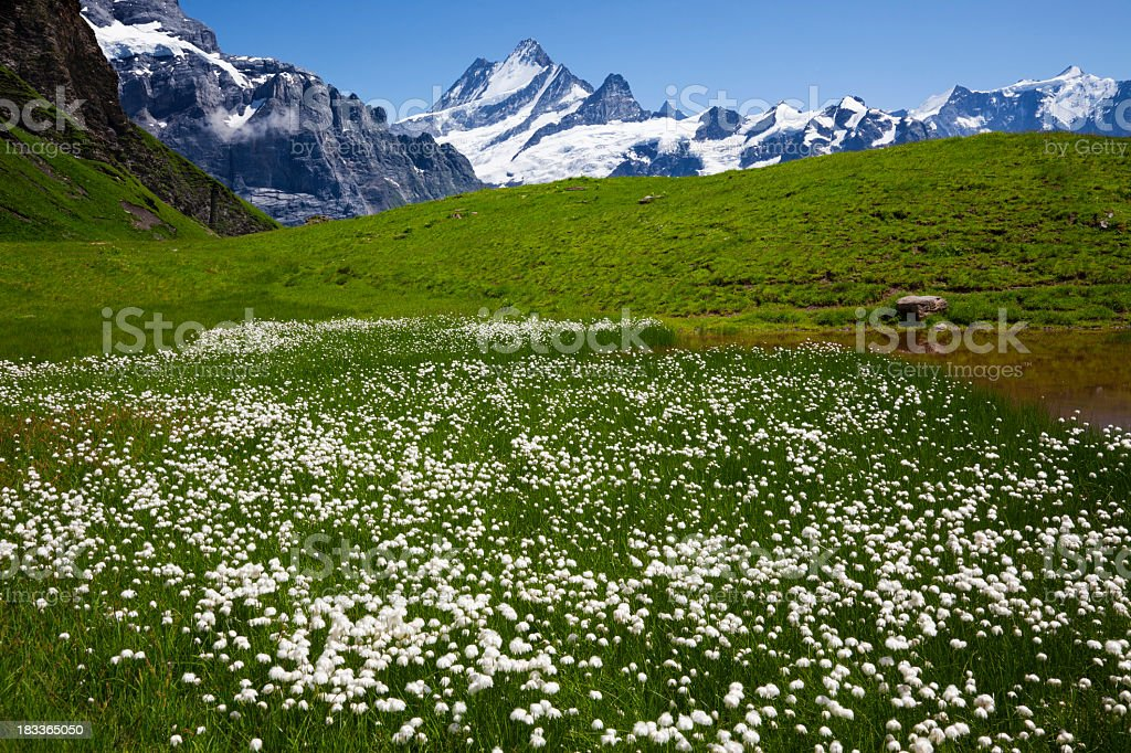 Green summer meadow with a view of snow topped mountains  stock photo