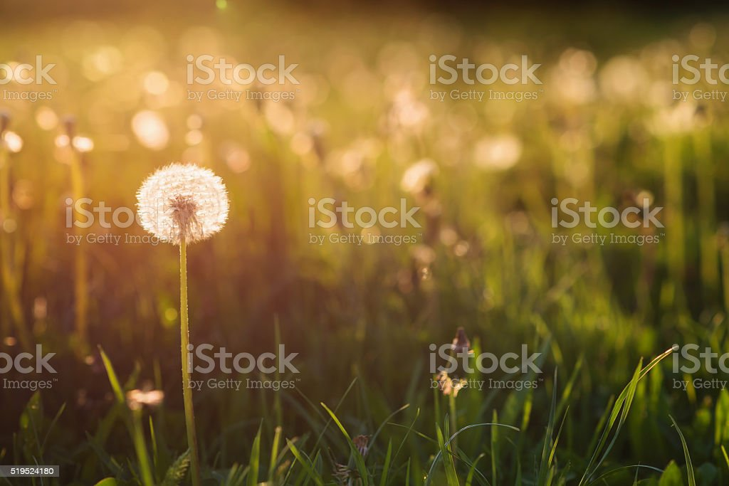 Green summer meadow with dandelions at sunset. Nature background stock photo