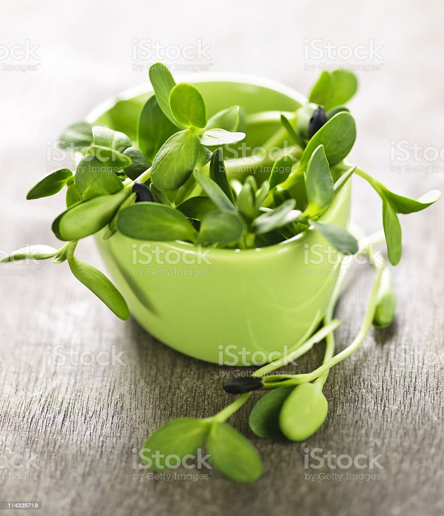 Green sunflower sprouts in a cup royalty-free stock photo