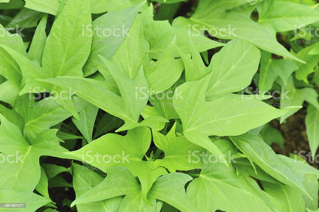 green sweet potato plants in growth stock photo