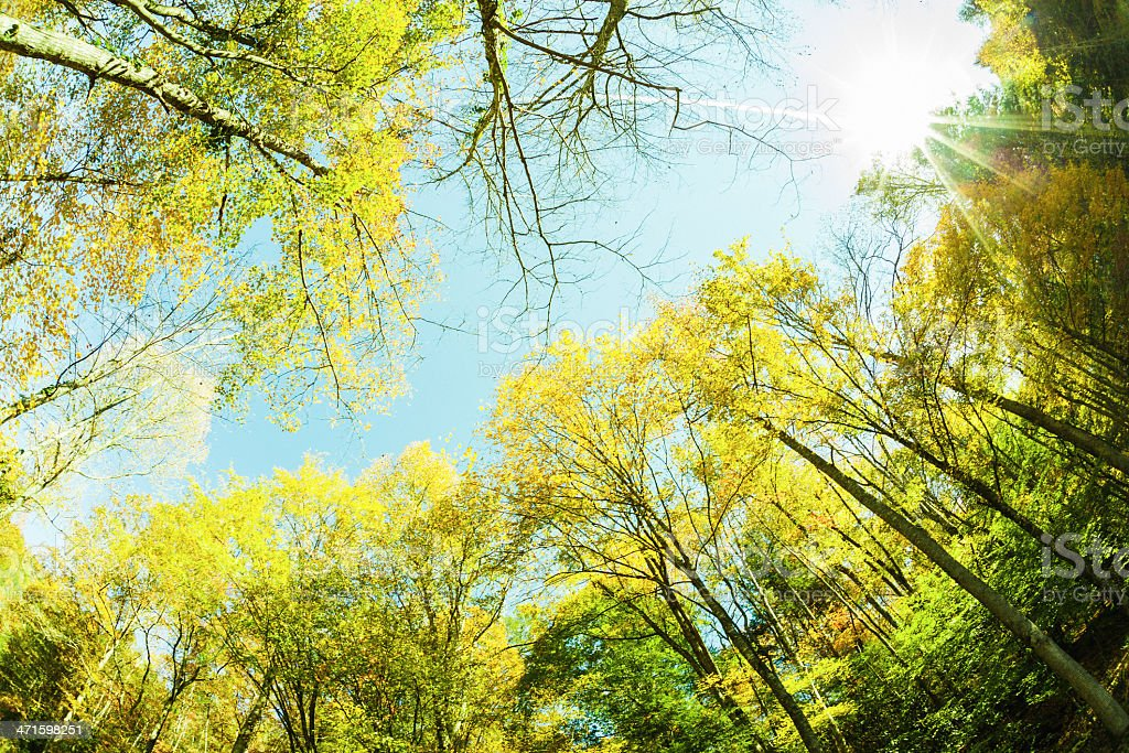 Green Tall Trees in the Forest royalty-free stock photo