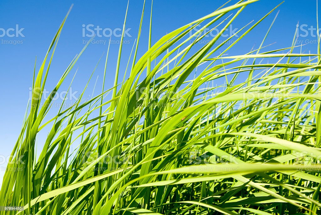 green tallgrass stock photo