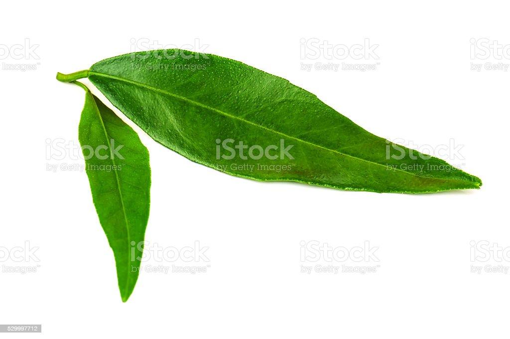 green tangerine leaves stock photo
