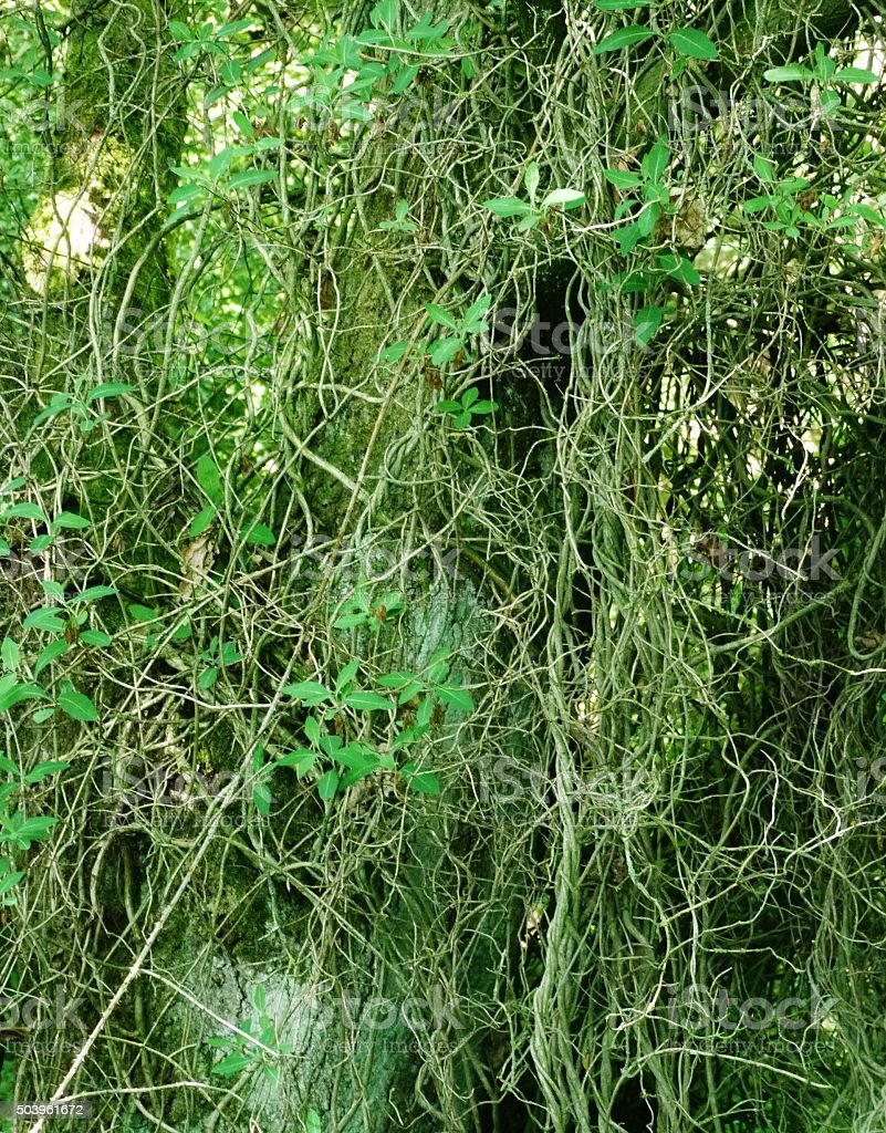 green tangled vines stock photo