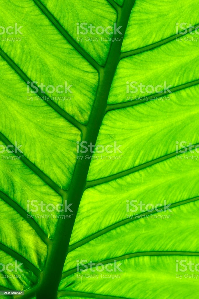 Green taro leaf structure macro close up stock photo