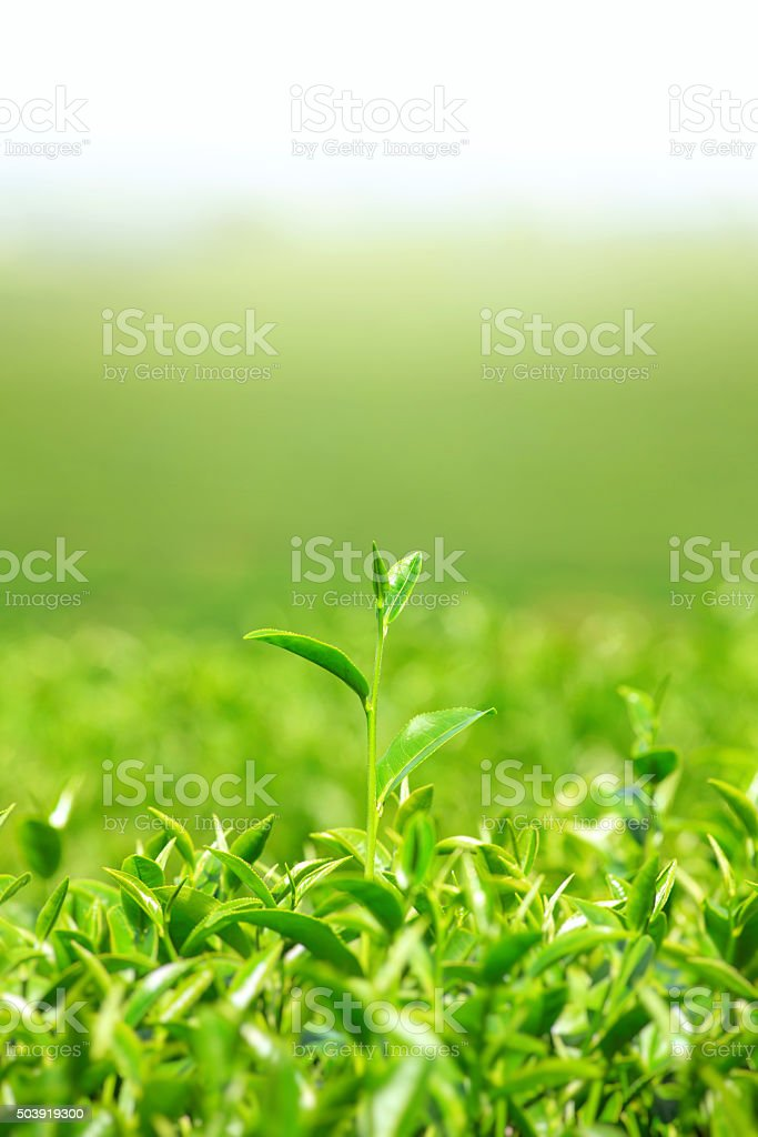 Green tea and leaves stock photo