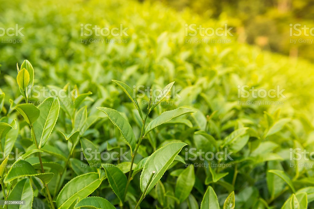 Green tea bud and leaves. Tea plantations stock photo