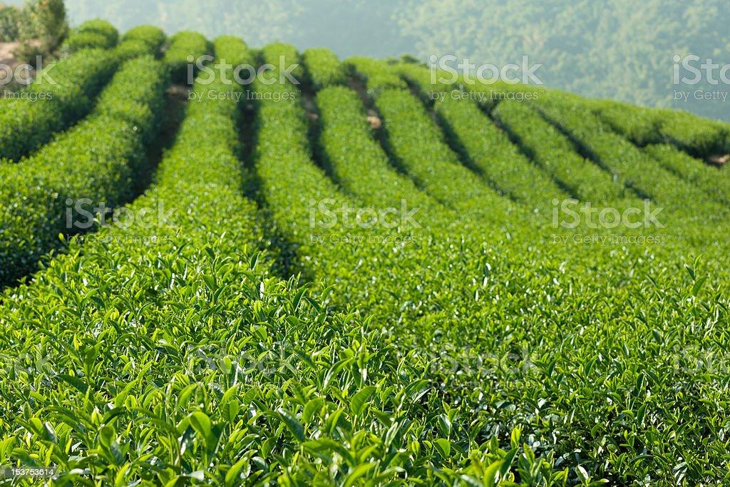 Green Tea Farm royalty-free stock photo