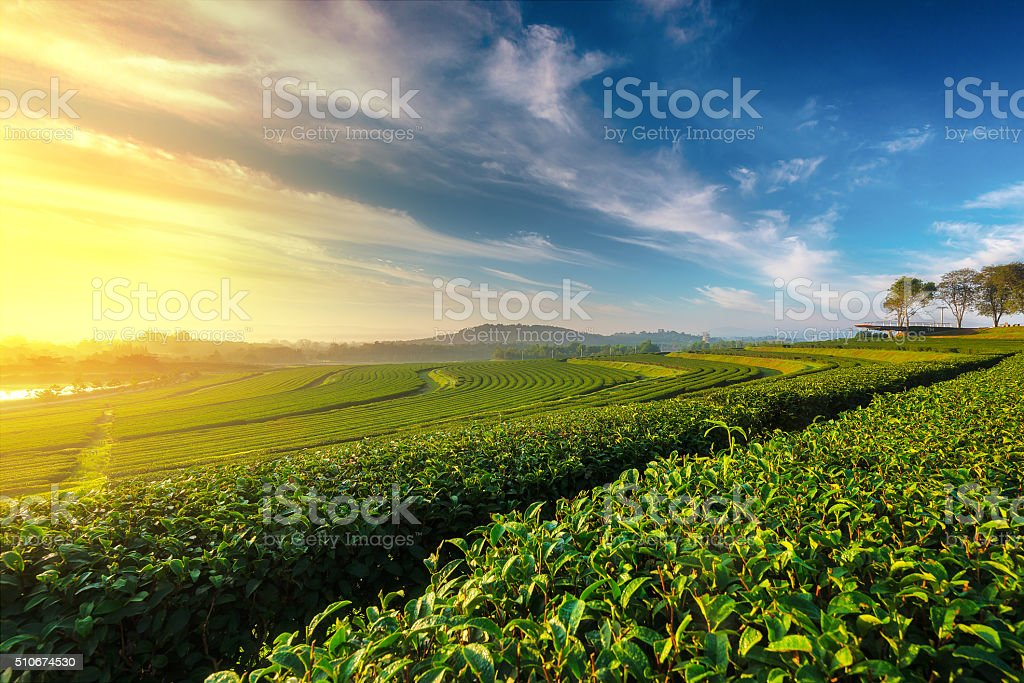 Green tea field in morning stock photo