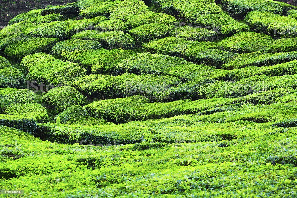 Green tea field royalty-free stock photo