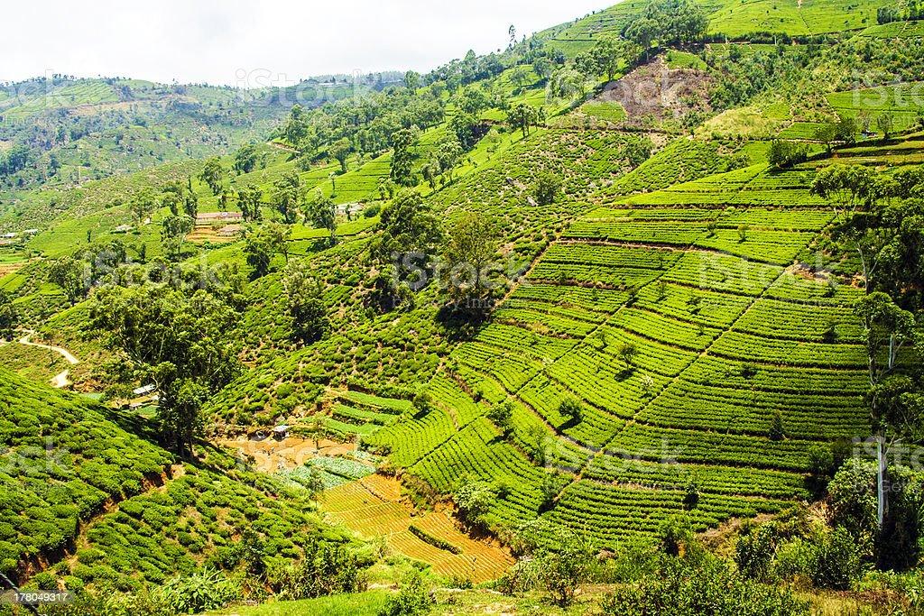 green tea fields in the highlands of Sri Lanka stock photo