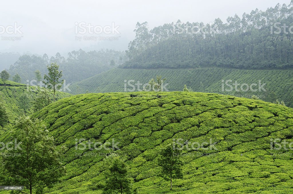 Green tea gardens in Munnar highland,Kerala,Western Ghats,India stock photo