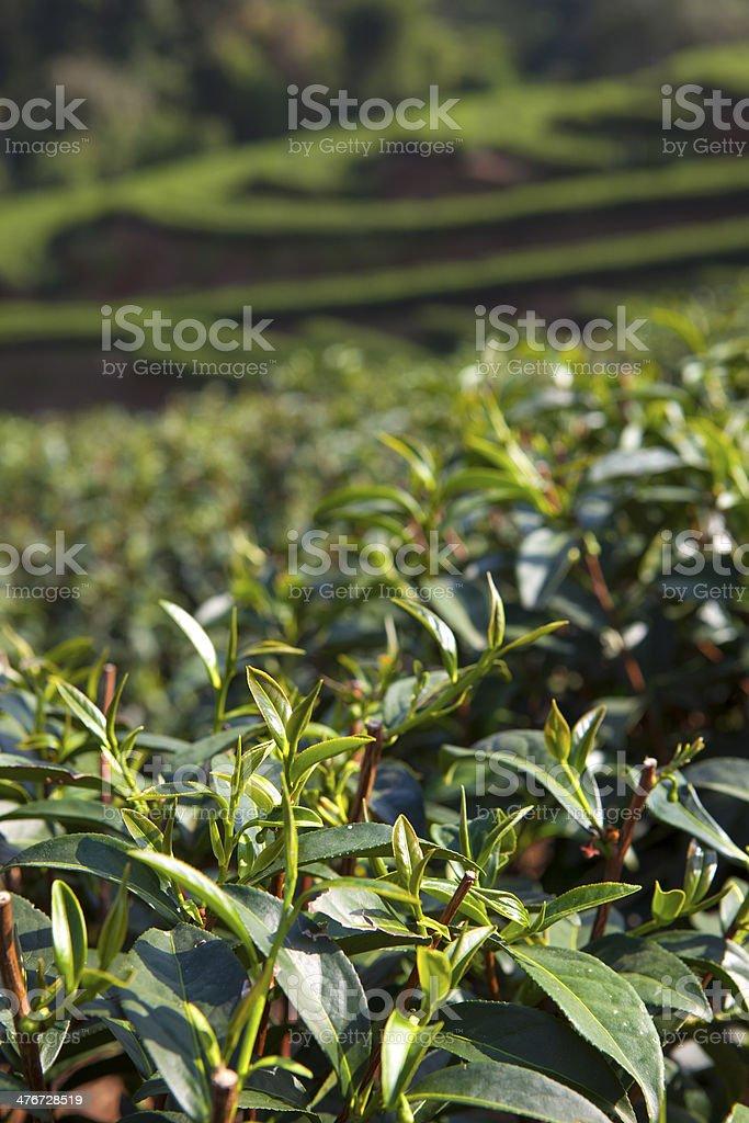Green Tea leaf im Feld Lizenzfreies stock-foto