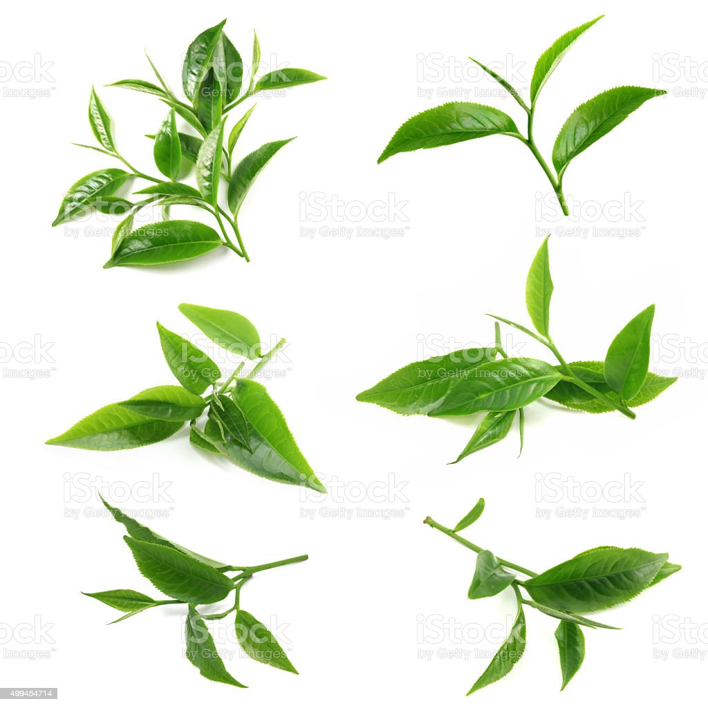Green tea leaf isolated on white background stock photo