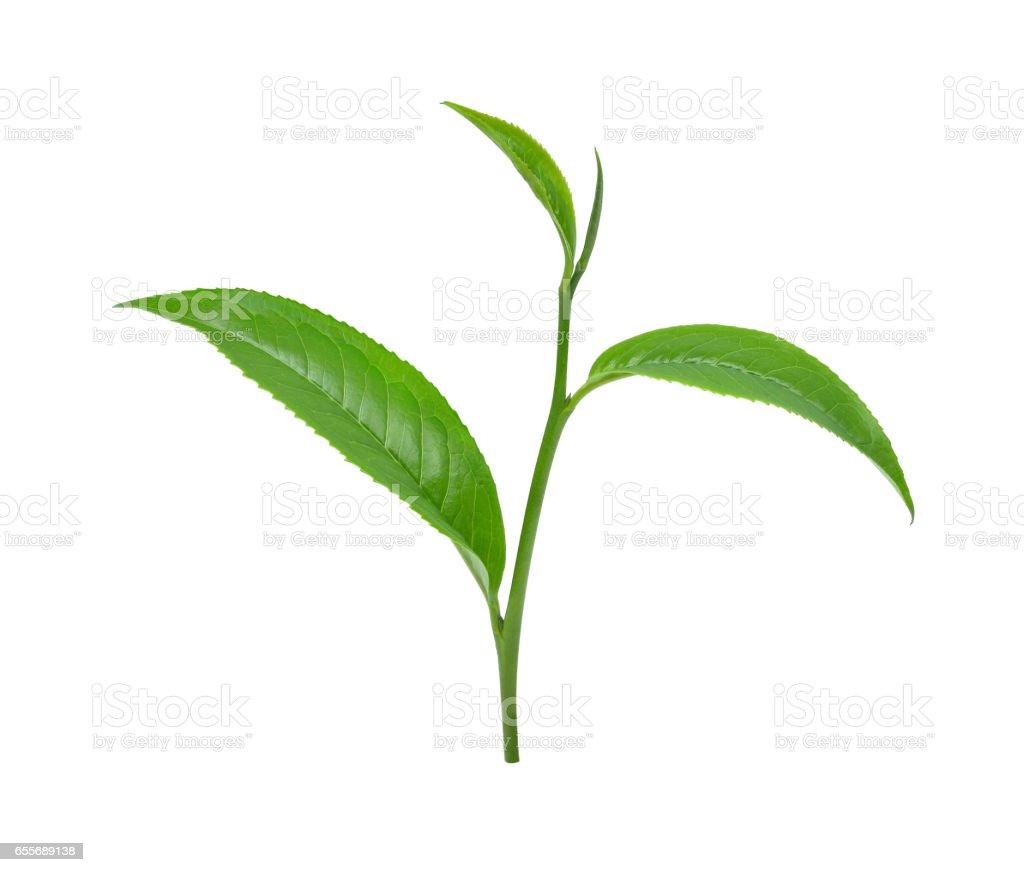 Green tea leaf isolated on white background stock photo