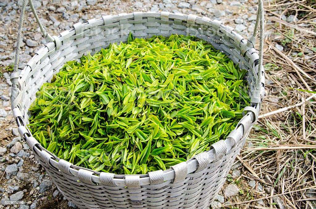 Green tea leaves in basket stock photo