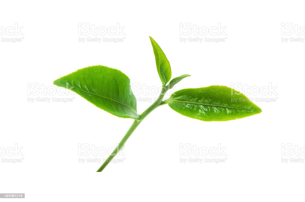 Green tea leaves isolated on white background. stock photo