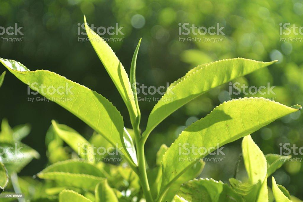 Green Tea Leaves stock photo
