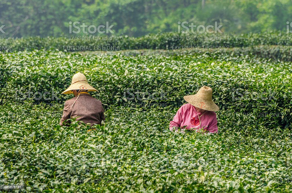 Green Tea Pickers of Hangzhou stock photo