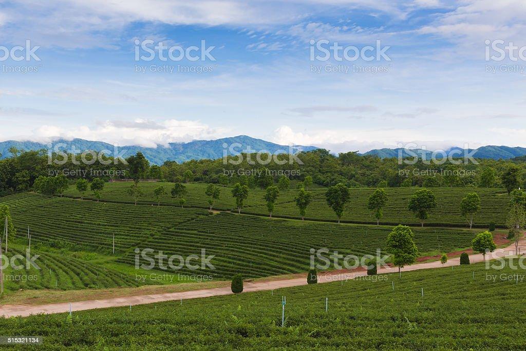 Green tea plantation agricultural stock photo