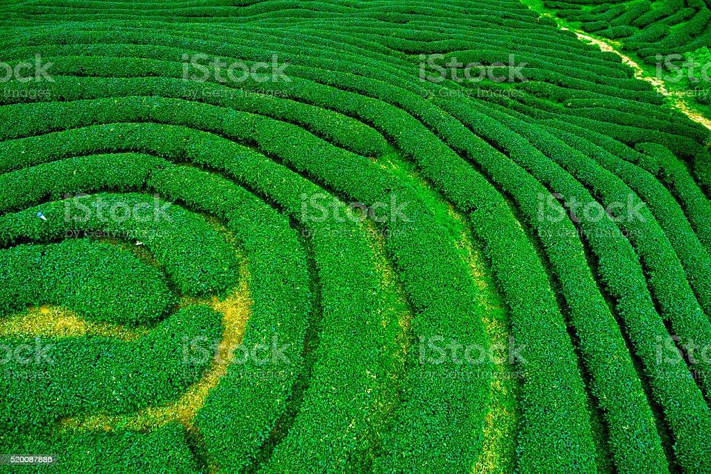 Green tea plantation landscape stock photo