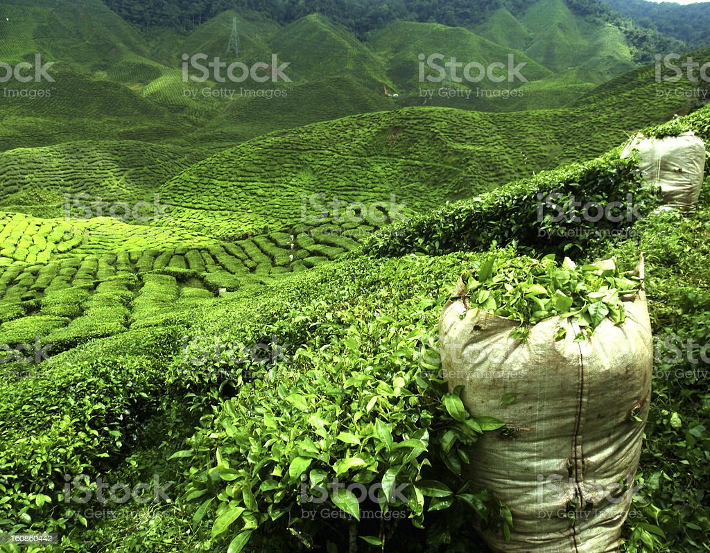 green tea plantation stock photo