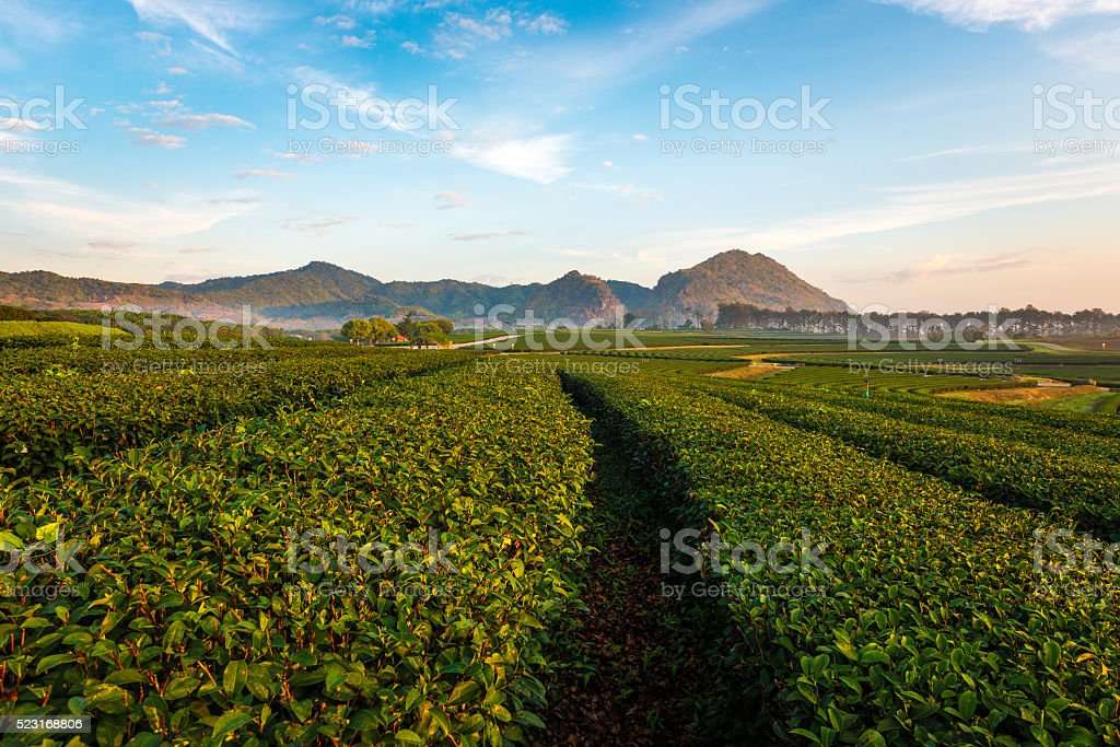 Green tea plantation view in winter morning stock photo