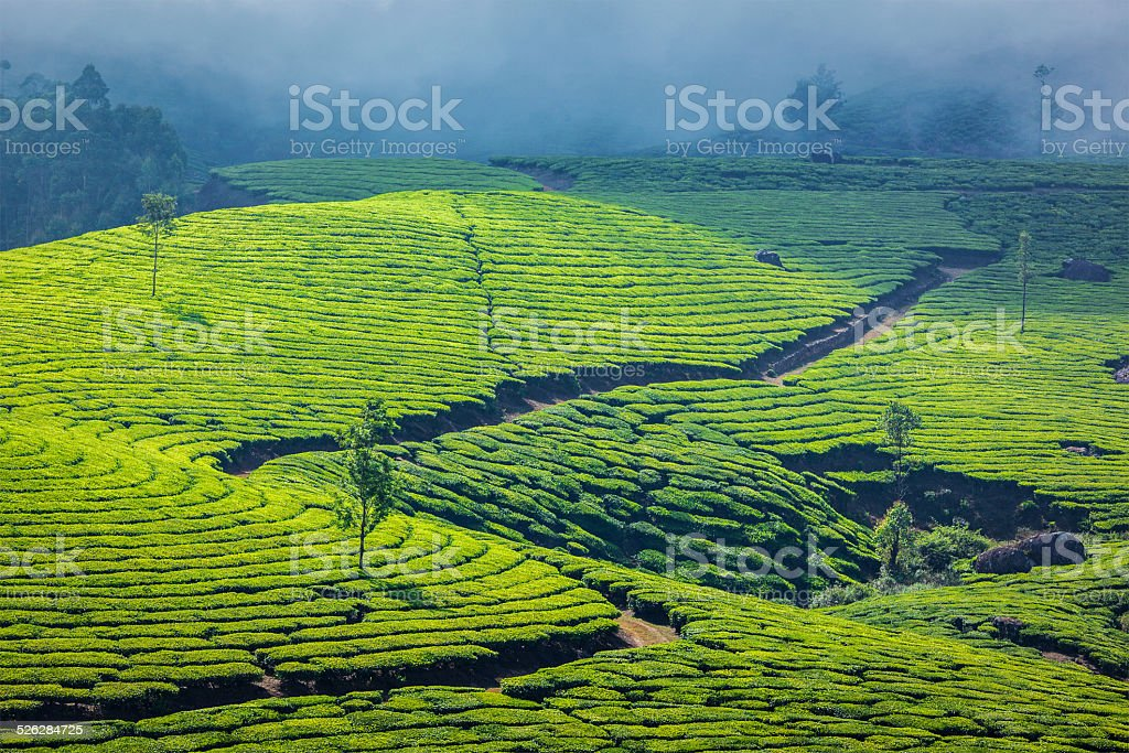 Green tea plantations in Munnar, Kerala, India stock photo