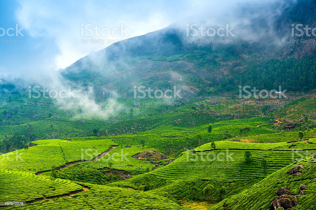 green tea plantations with fog early in the morning, Munnar stock photo