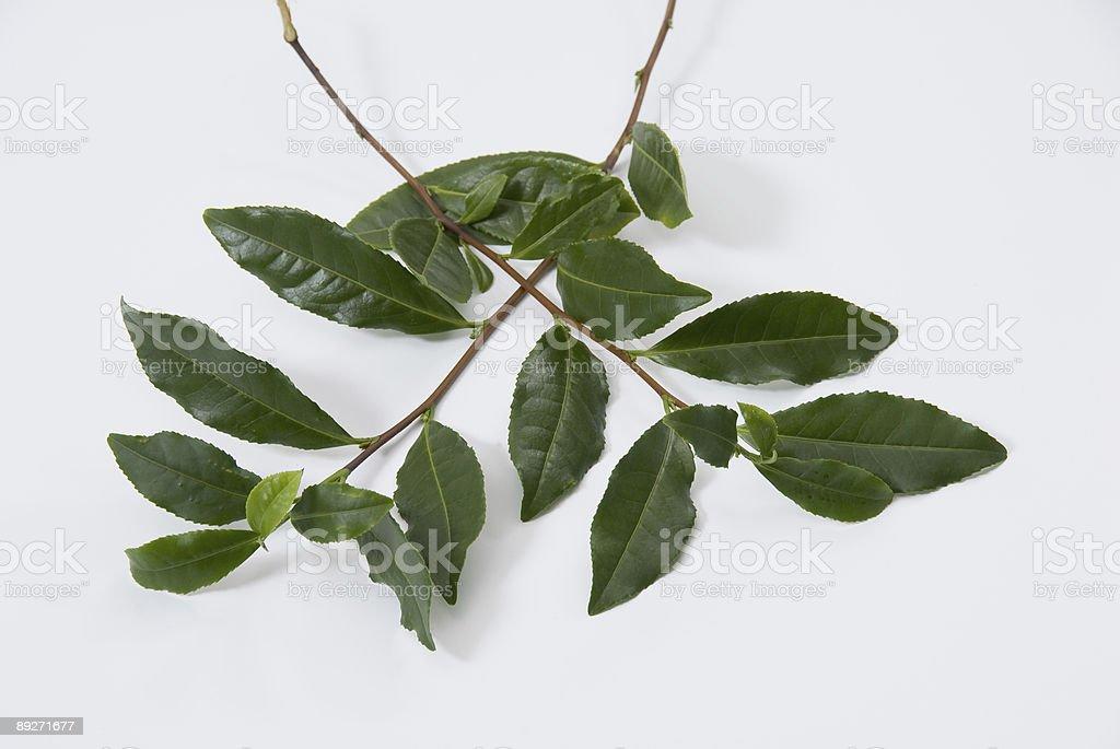 Зеленый чай веточек Стоковые фото Стоковая фотография