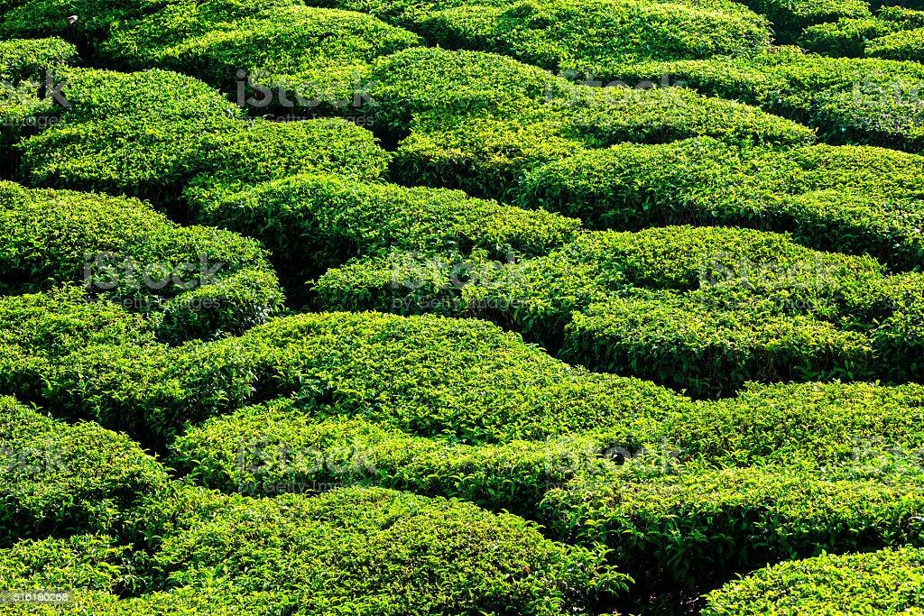 Green teal plantations close up stock photo