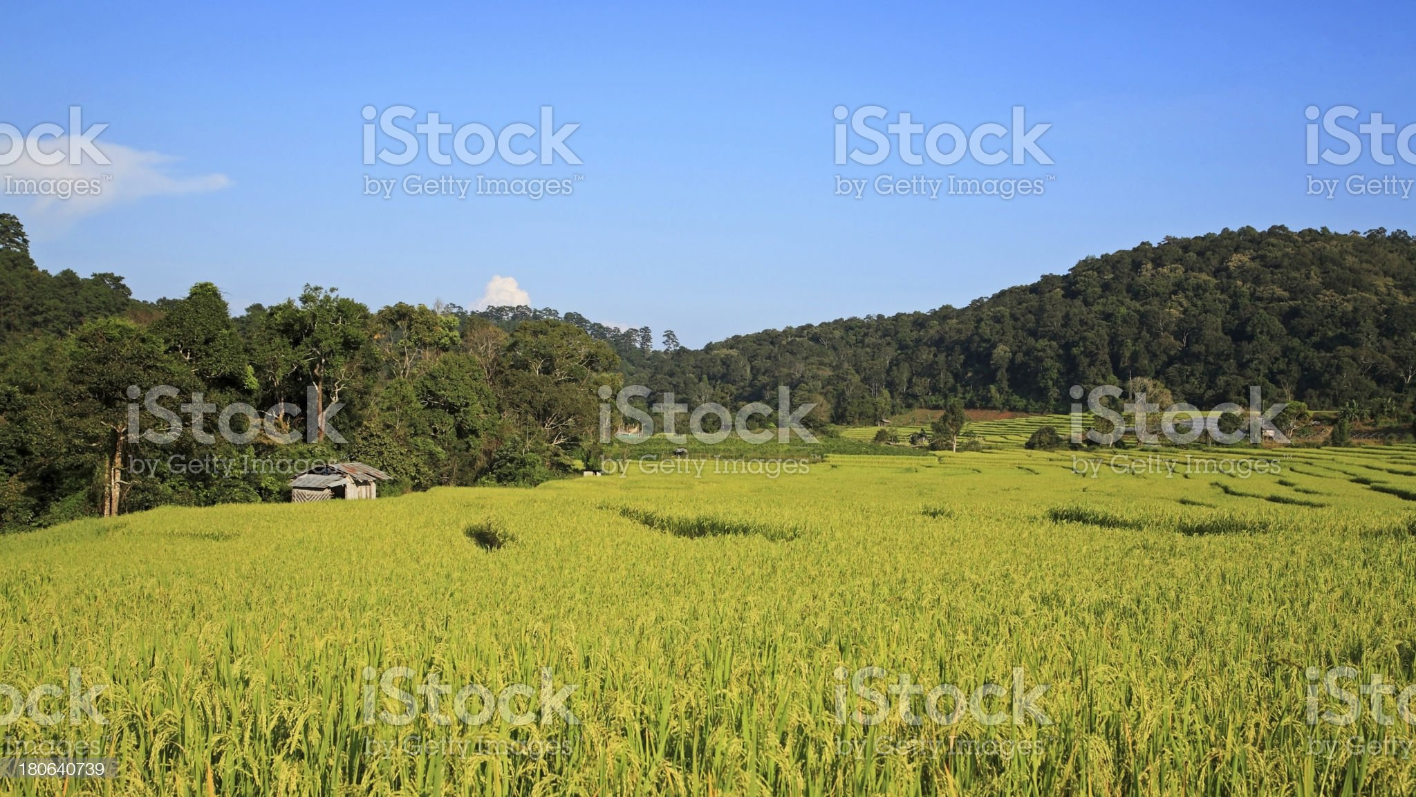 Green Terrace rice fields in Chaing Mai, royalty-free stock photo