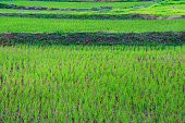 Green Terraced Rice Field in C