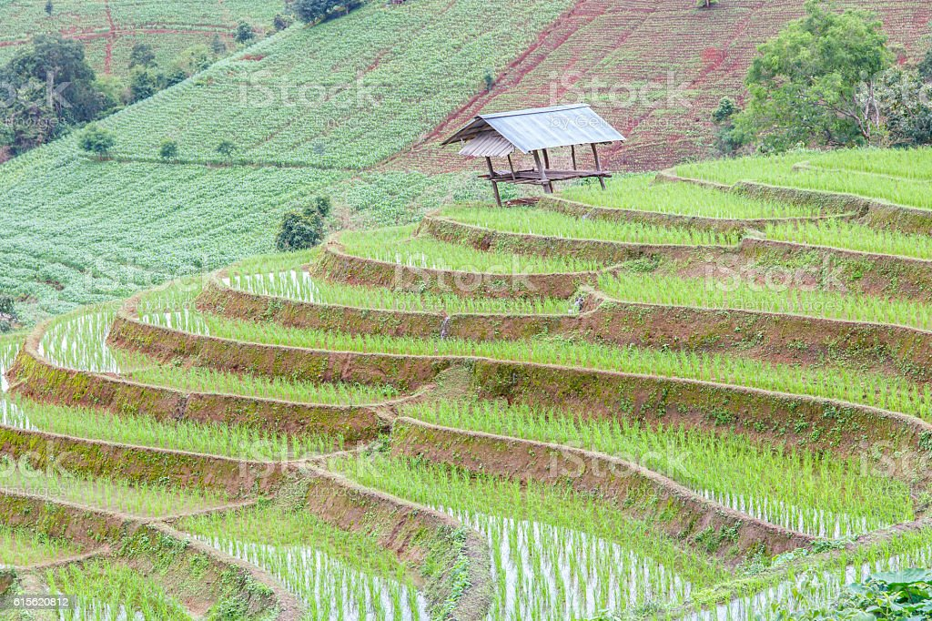 Green Terraced Rice Field in Pa Pong Pieng stock photo