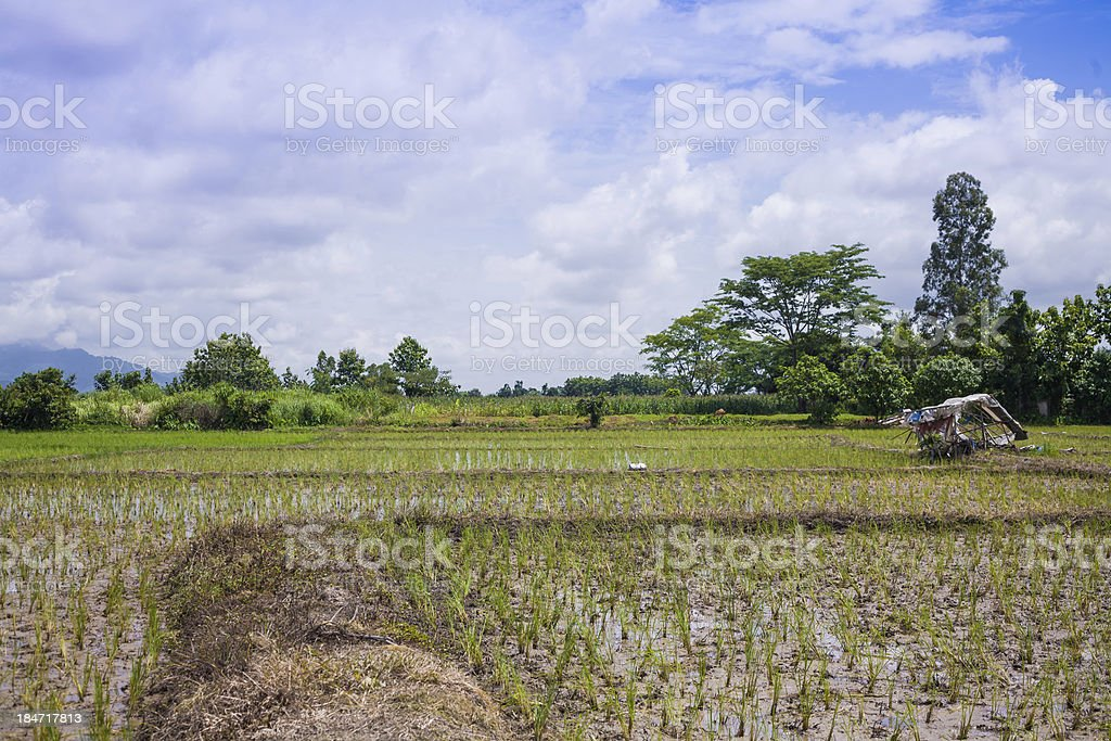 Green Terraced Rice Field royalty-free stock photo