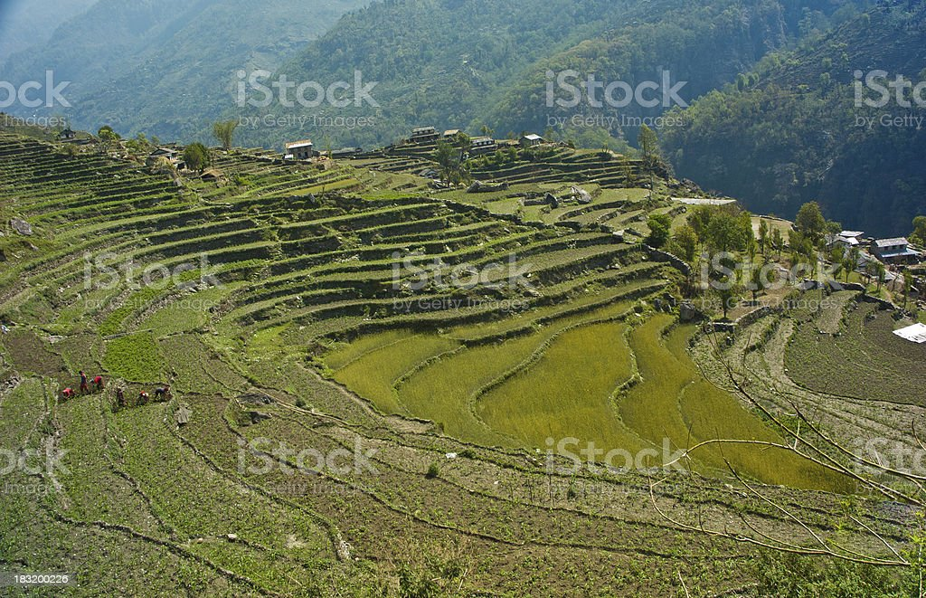 Green terraced rice-fields at Annapurna trekking route royalty-free stock photo