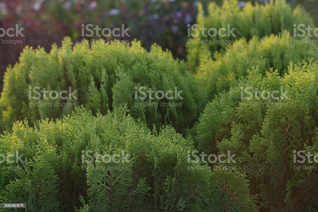 Green Thuja stock photo