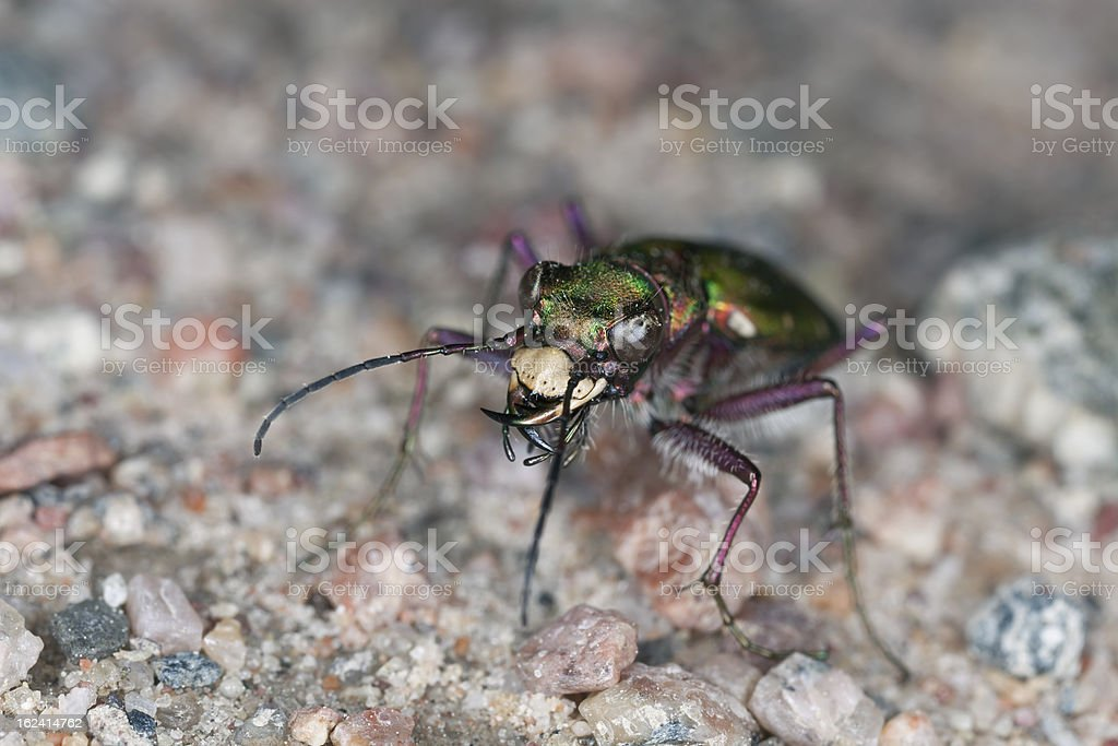 Green tiger beetle (Cicindela campestris) extreme close-up royalty-free stock photo