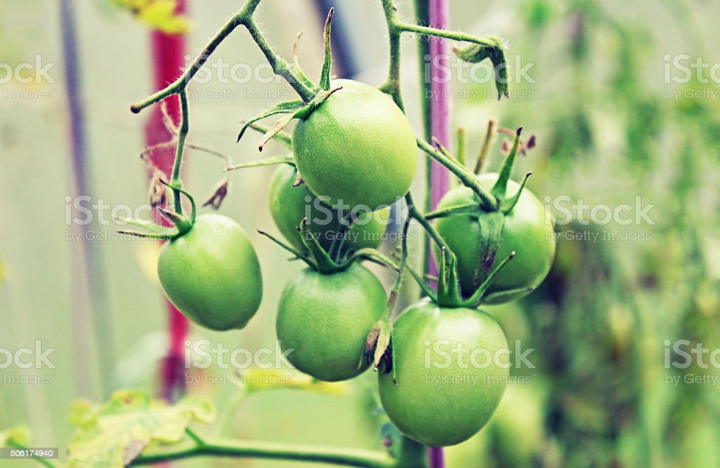 Green tomato in the greenhouse in the summer stock photo