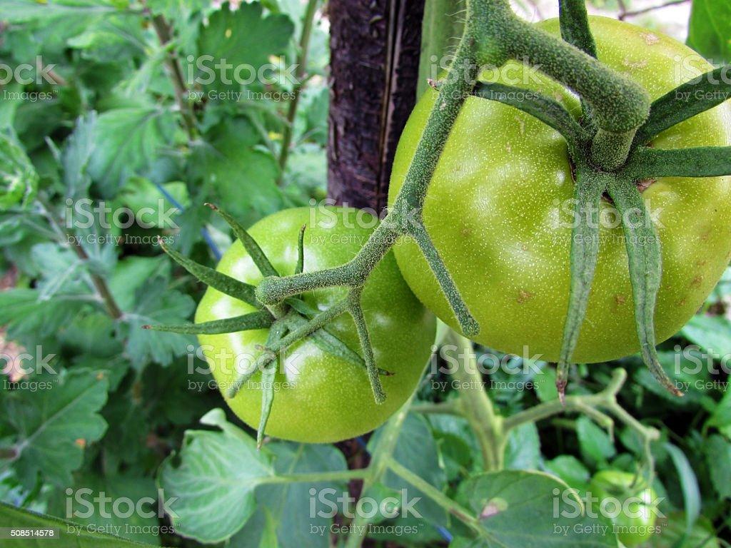 Green tomato stock photo