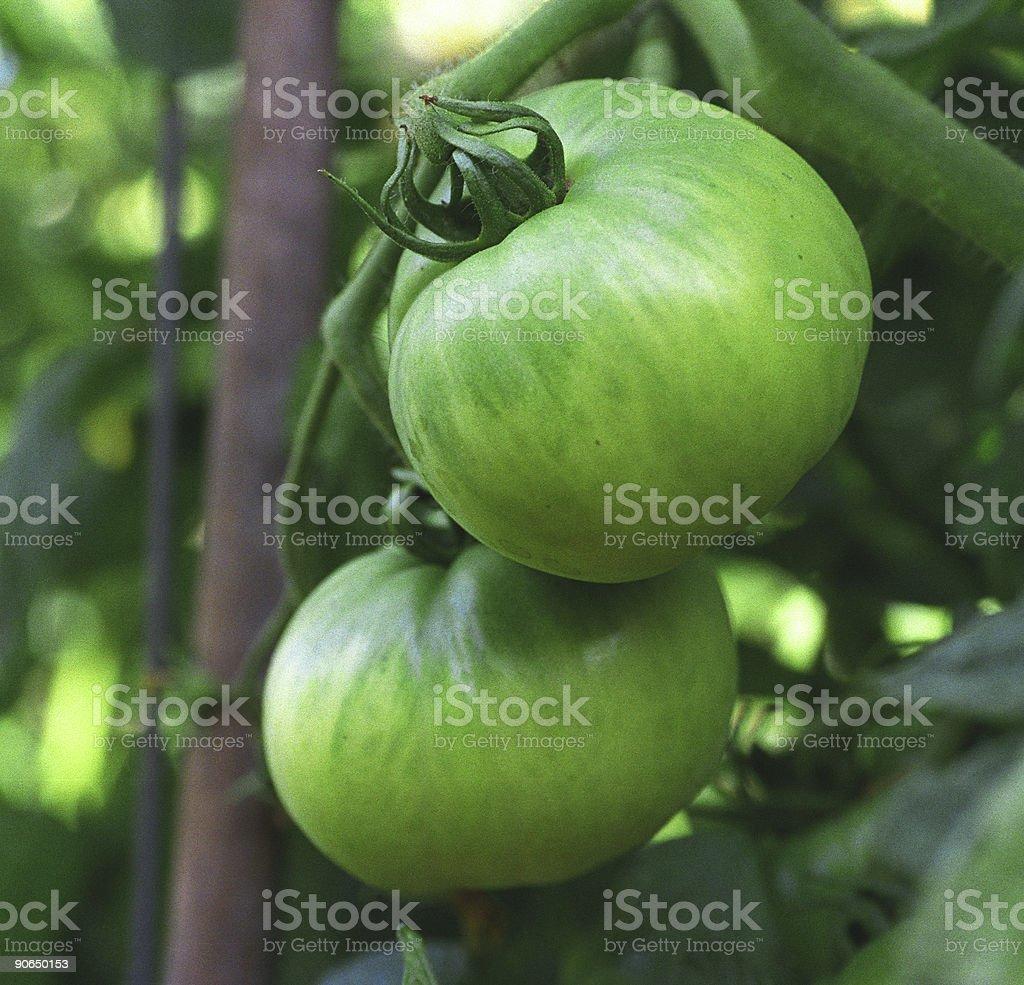 Green tomato royalty-free stock photo