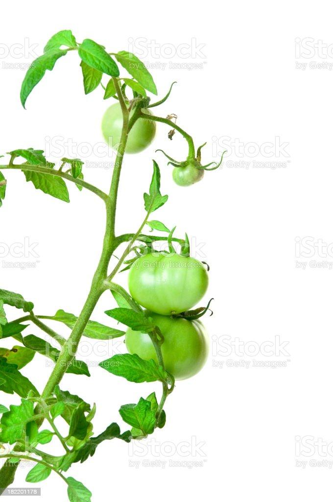 Green tomato plant against a white background stock photo