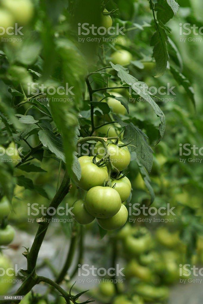 Green tomato plant stock photo