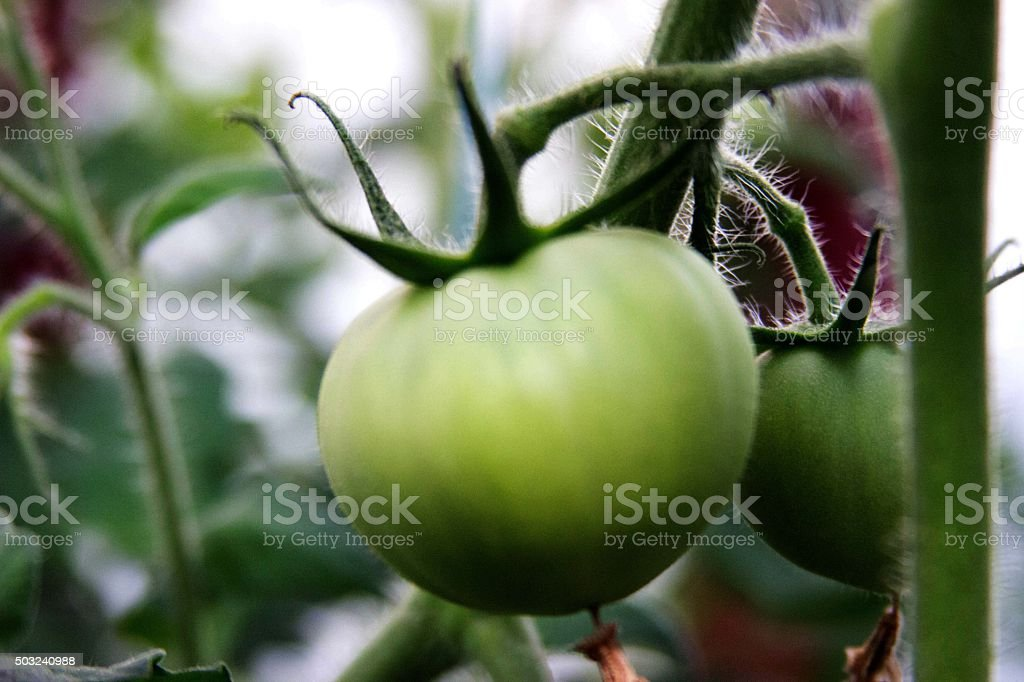 Green Tomatoe stock photo