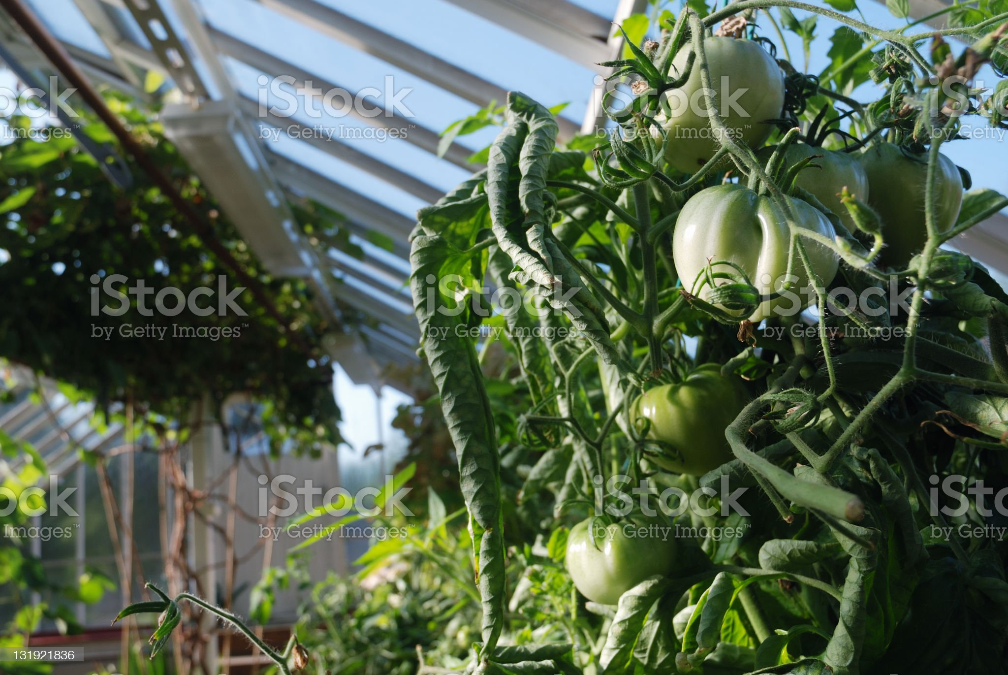 green tomatoes grow on vines royalty-free stock photo