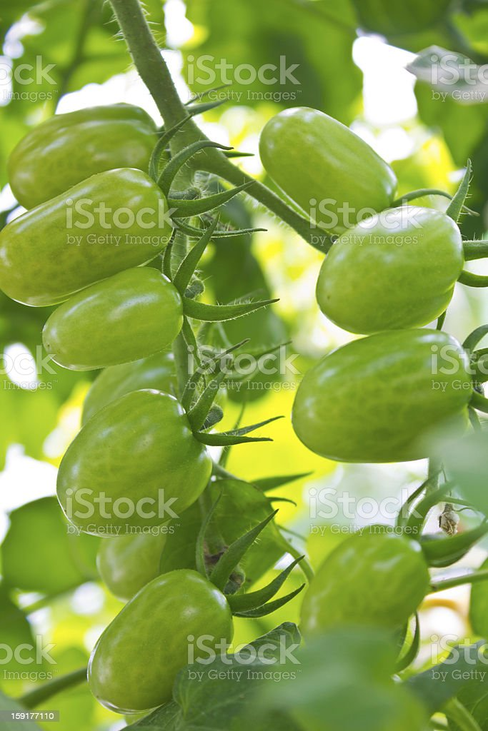 Green tomatoes growing on the branches royalty-free stock photo