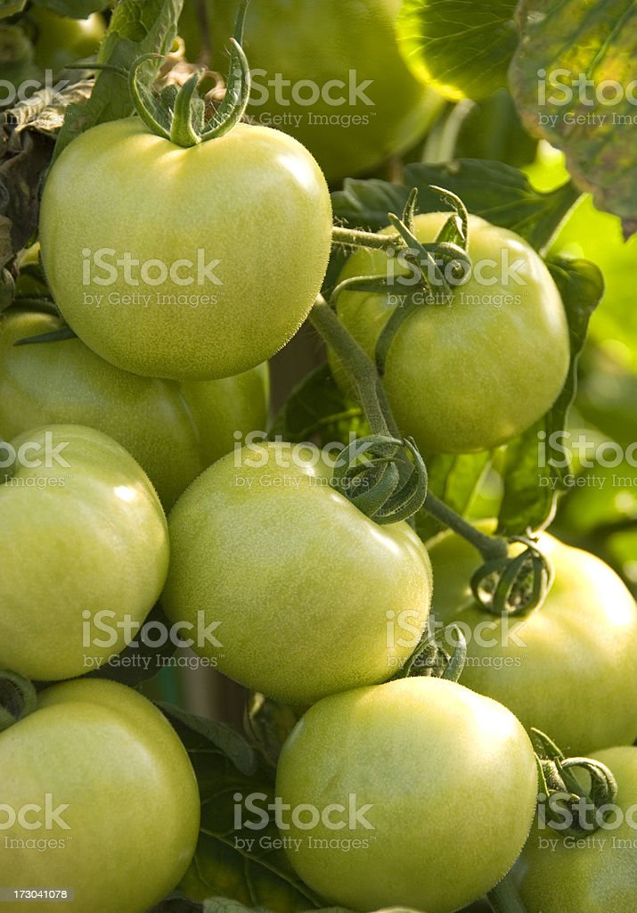 Green tomatoes on the vine stock photo