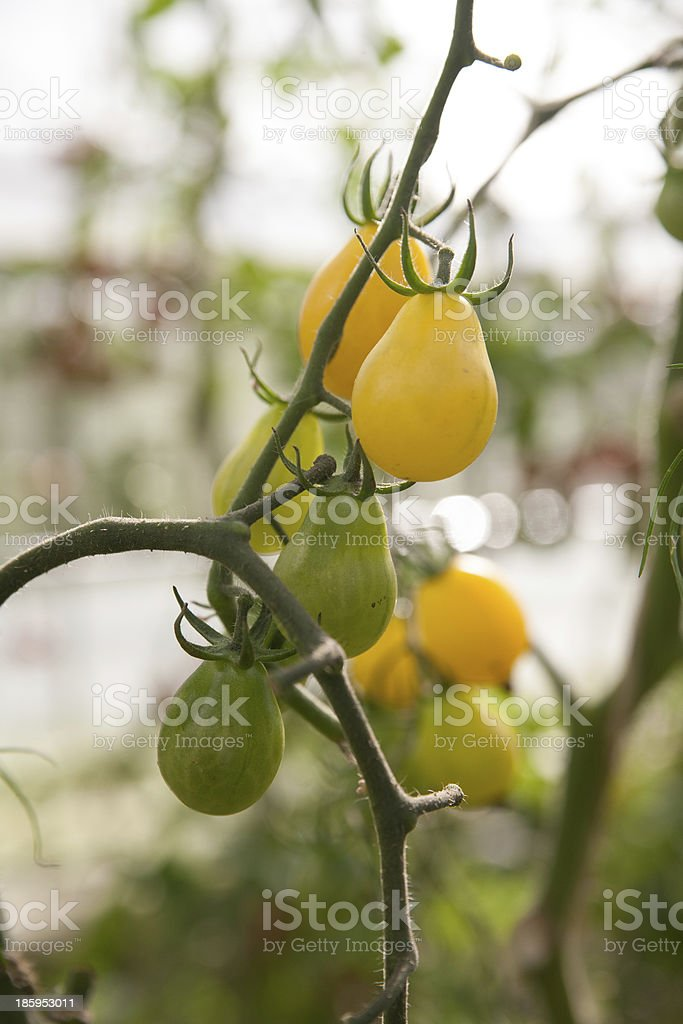 Gr?ne Tomaten royalty-free stock photo