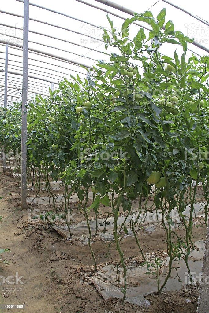 green tomatoes royalty-free stock photo